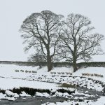 Sheep-Tree-2